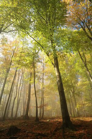 vista: Autumnal beech forest in the fog