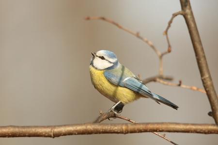 caeruleus: Blue tit - Parus caeruleus - on a twig in the morning
