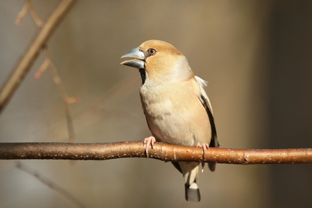 Female Hawfinch - Coccothraustes coccothrautes - on a twig photo