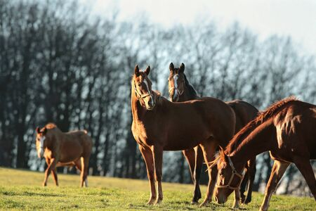 Horses in a pasture on the background of bare trees photo
