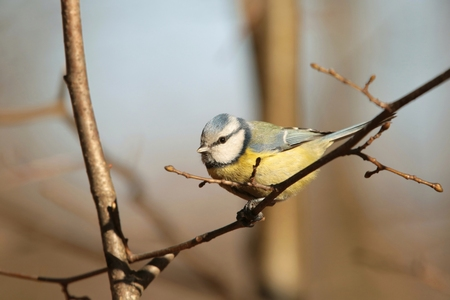 caeruleus: Blue tit - Parus caeruleus - on a twig in the morning