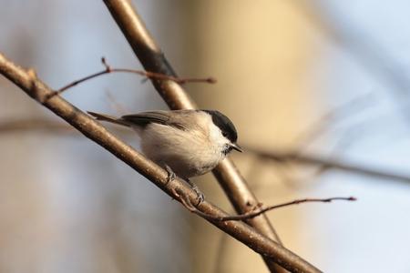 palustris: Marsh tit - Parus palustris - on a twig at dawn