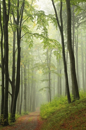 rain forest background: Path through the autumnal forest in the fog