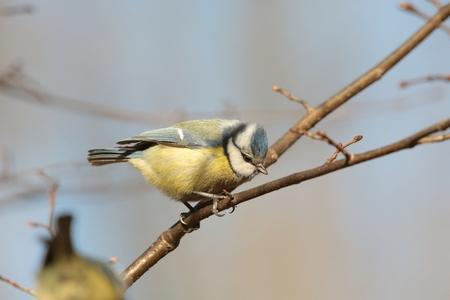 blue tit: M�sange bleue - Parus caeruleus - sur une brindille Banque d'images