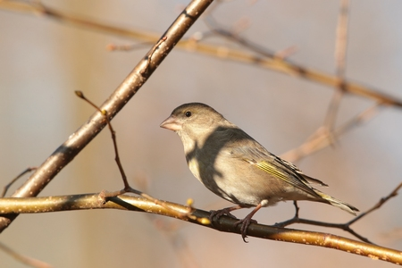 Female Greenfinch - Carduelis chloris - on a twig photo