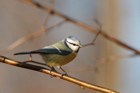 caeruleus: Blue tit - Parus caeruleus - on a twig Stock Photo