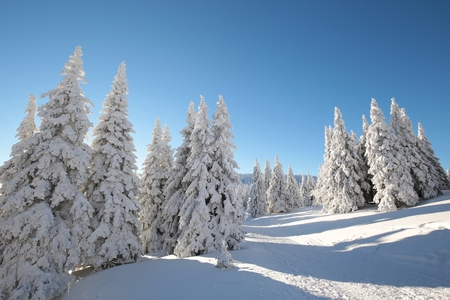 Snow-covered trees lit by the morning sun
