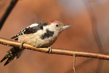dendrocopos: Middle Spotted Woodpecker - Dendrocopos medius - on a twig Stock Photo
