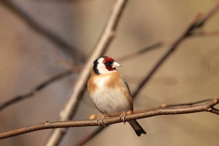 goldfinch: European goldfinch - Carduelis carduelis - on a twig Stock Photo