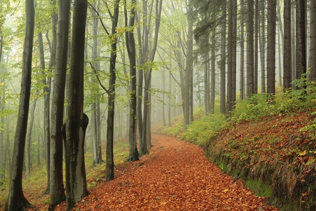 autumn path: Path through the forest on a foggy autumn morning