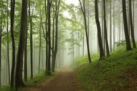 misty forest: Trail through the beech forest on a foggy rainy morning