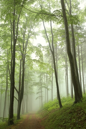 deciduous woodland: Trail through the beech forest on a foggy rainy morning