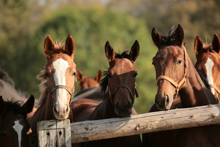 Heads of horses in the pasture