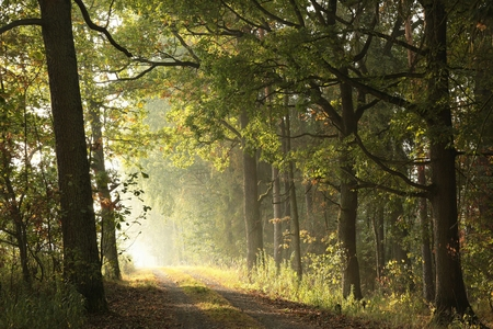 road autumnal: Country road through the autumnal forest on a foggy morning
