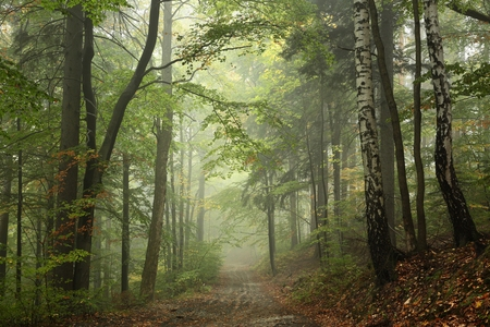 Path through the beech forest in foggy weather