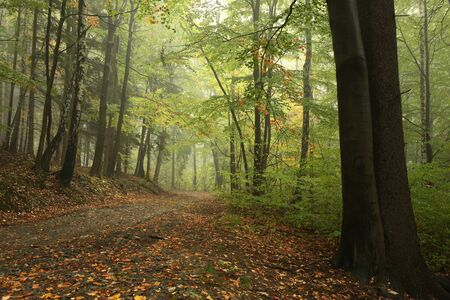 autumn path: Forest path in misty weather at the beginning of autumn Stock Photo