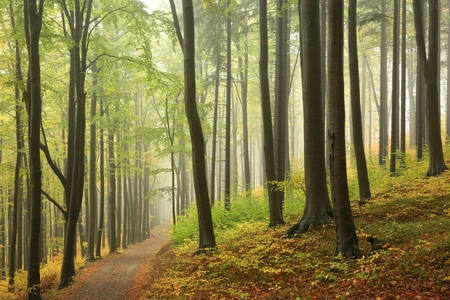 fog forest: Early autumn beech forest in the fog