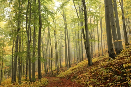 tree  forest: Autumn beech forest with mist in the distance