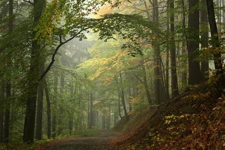 안개 속의 이른 가을 너도 밤나무 숲 스톡 콘텐츠