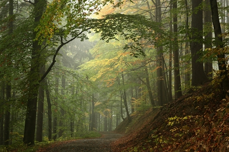 Early autumn beech forest in the fog