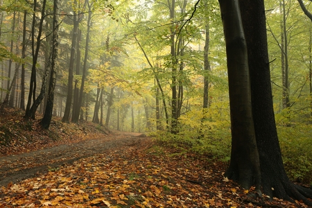branches and leaves: Forest trail in foggy autumn weather Stock Photo