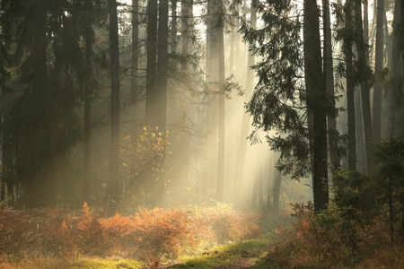 autumn path: Coniferous forest on a foggy autumn morning