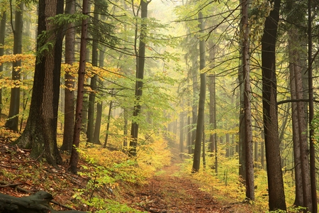 woodland scenery: Forest trail in foggy autumn day