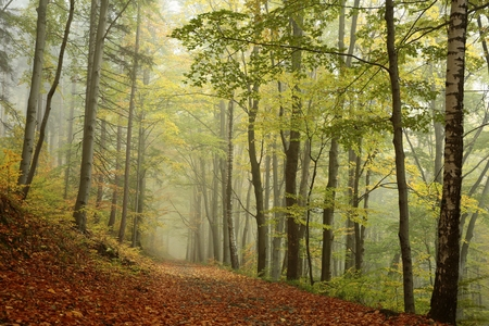 autumn path: Forest path in foggy autumn weather