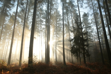 Sunbeams fall into the autumn coniferous forest
