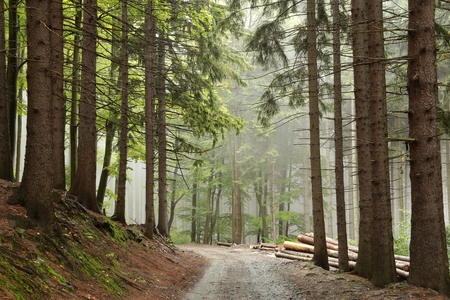 Path along the spruce trees in misty weather