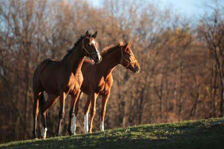 horse chestnuts: Horses on pasture. November, Poland Stock Photo