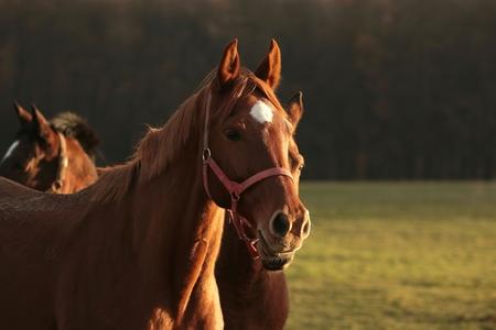 autumn horse: Horse at dusk, December, Poland Stock Photo