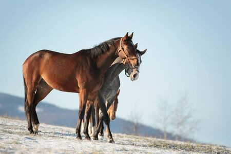 horse chestnuts: Horses in a snowy pasture in the morning Stock Photo
