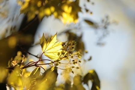 spring leaf: Spring maple leaf at dawn