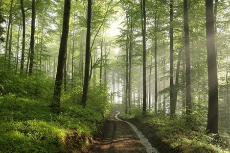 rainfall: Spring beech forest after rainfall Stock Photo