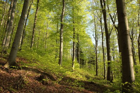 tree canopy: Spring beech forest Stock Photo