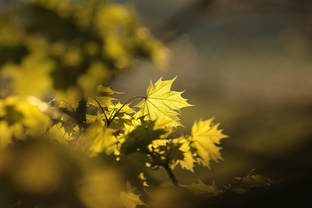 spring leaf: Spring maple leaf in the forest Stock Photo