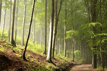 fog forest: Spring beech forest Stock Photo
