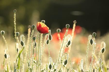iluminado a contraluz: Amapola en el campo al amanecer