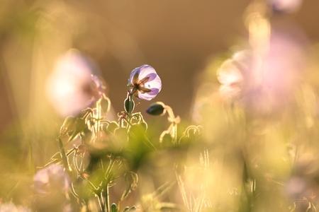 cranesbill: Geranium pratense (Cranesbill Geranium) at dawn