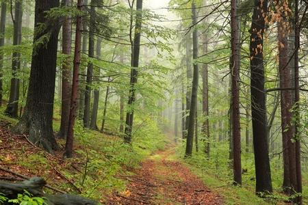 Waldweg im nebligen Herbstmorgen