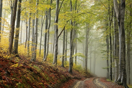Path through the beech forest on a misty autumn weather Stock Photo