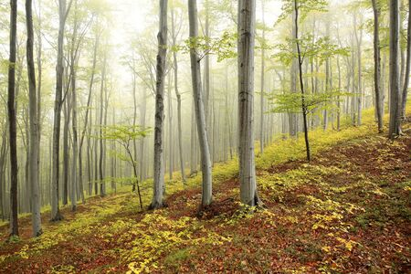 fog forest: Autumn beech forest in the fog Stock Photo