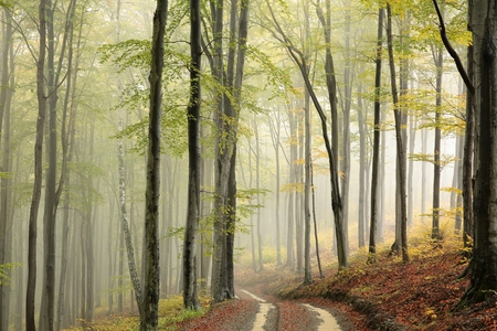 fog forest: Path through the beech forest on a misty autumn weather Stock Photo