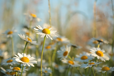 marguerite: Daisy in a meadow at dusk Stock Photo
