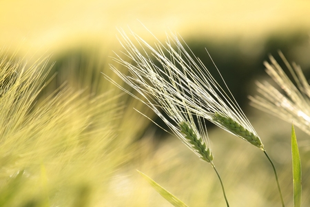 Ears of grain in the field at dawn Stock Photo