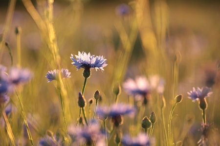 sprinftime: Cornflower in the field at dusk Stock Photo