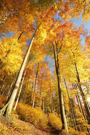 Autumn beech forest in the sunshine Stock Photo
