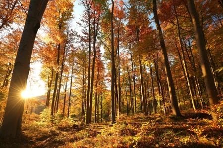 Autumn beech forest at sunrise