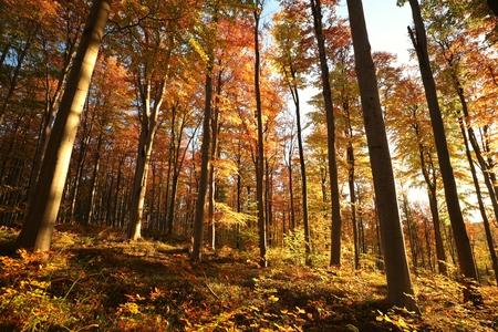 Autumn beech forest at dawn